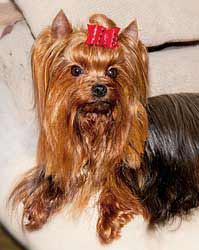 Yorkshire Terrier puppies and dog for mating