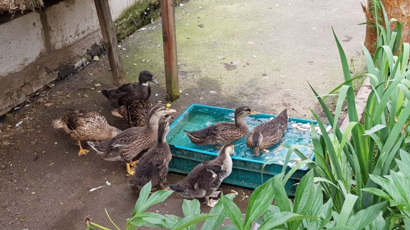 Duck wild Mallard