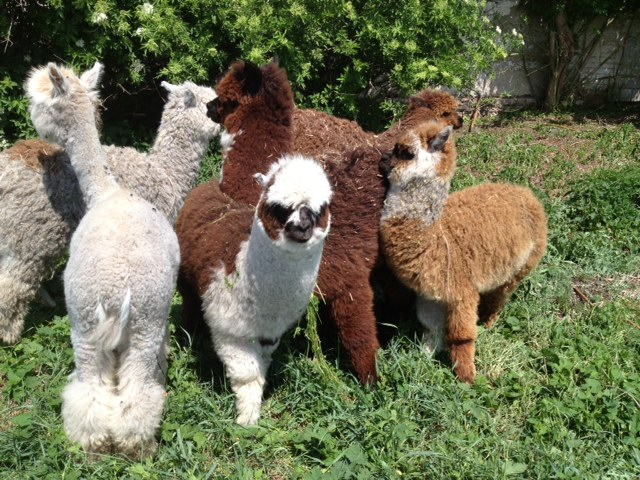 Sell Alpaca llama, Deer Mungiki, Deer, Kangaroos Bennett, Mouflon