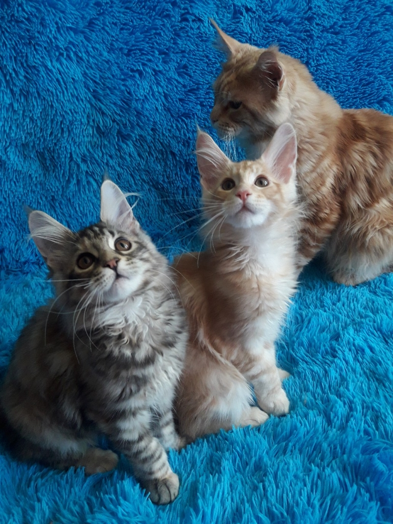 British fold kittens from a catter.in reserve an.in the presence of