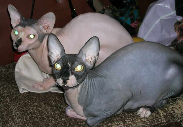 Sphynx (for breeding is not expensive)