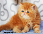 Cat Persian red marble