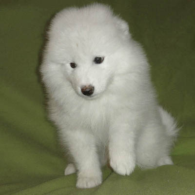 Puppies Samoyed (Samoyed dog)