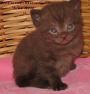 British chocolate kittens from cattery Vivian.