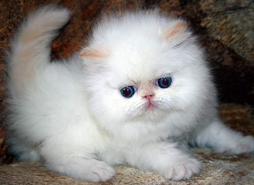 Persian cutie red point