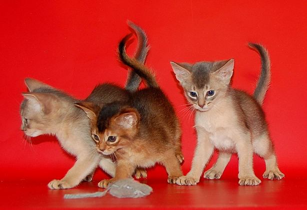 Abyssinian kittens waiting for their caring and loving owners