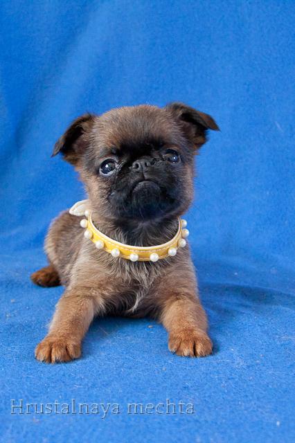 Petit Brabancon perfec.companion. Puppies color sale