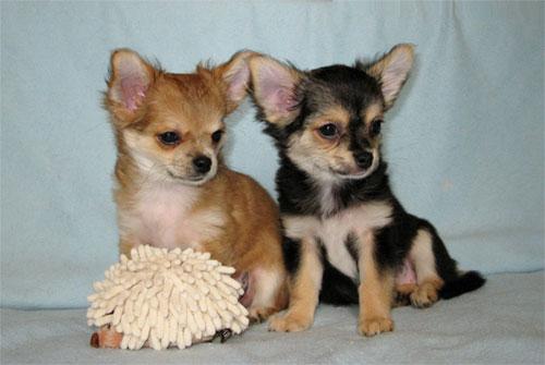 Chihuahua puppies girls