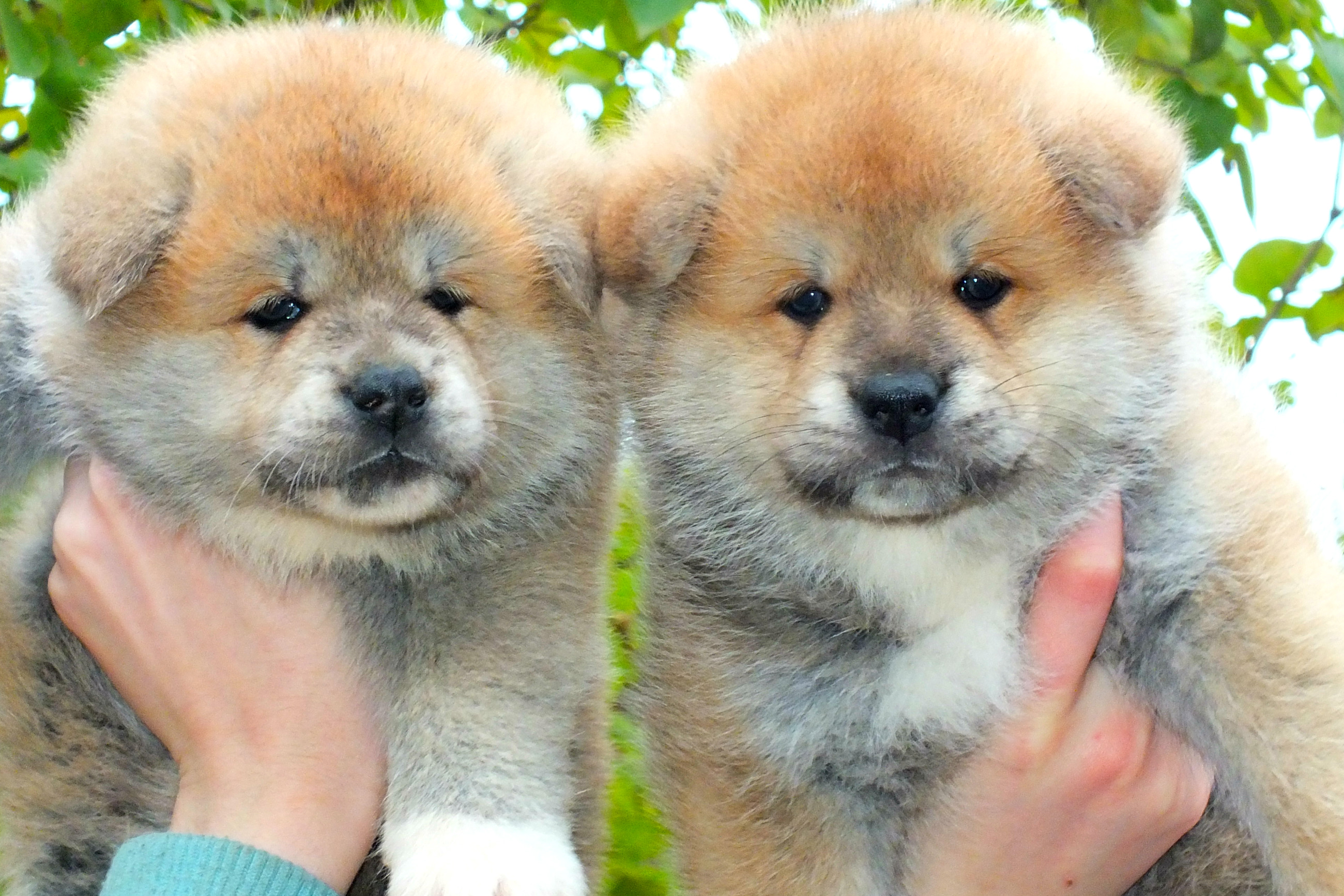 puppies Akit.inu