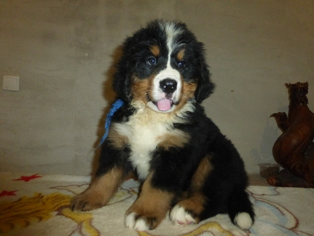 Puppies of Bernese mountain dog