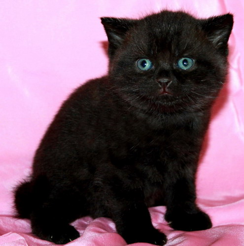 Black British kittens from cattery