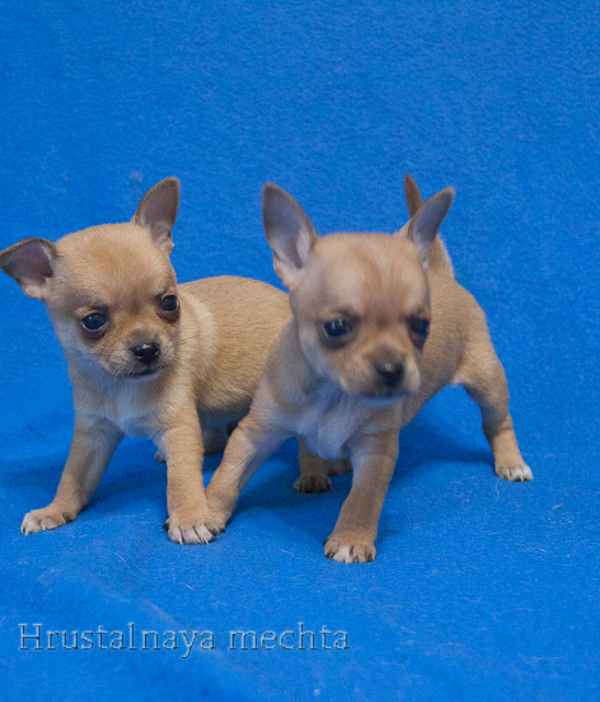 Red Chihuahua. Brothers to choose