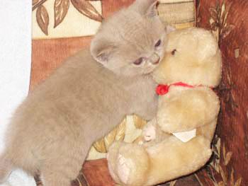 Sale of British pedigree kittens