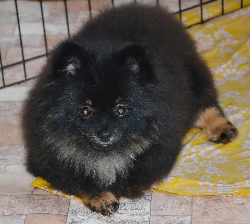 puppies German Spitz