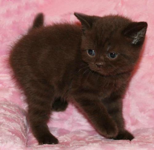 Chocolate British kittens from cattery