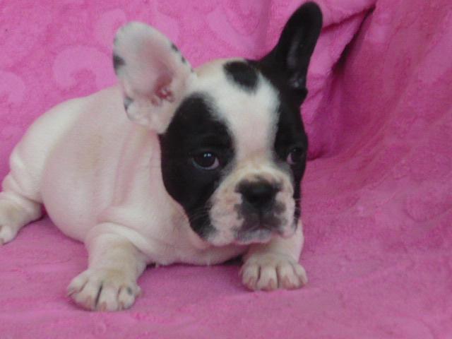 French bulldog puppies for 8000 rub. Urgent!