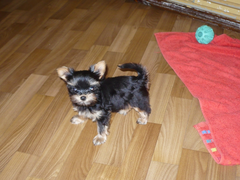 sell Yorkshire Terrier puppies