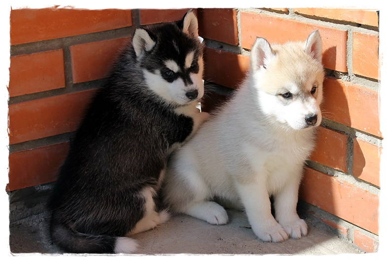 I will sell puppies a Siberian Huskies