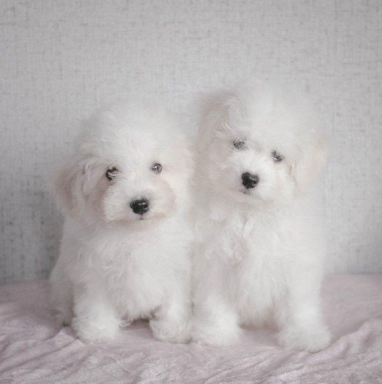 Bichon Frise, puppies, Novosibirsk