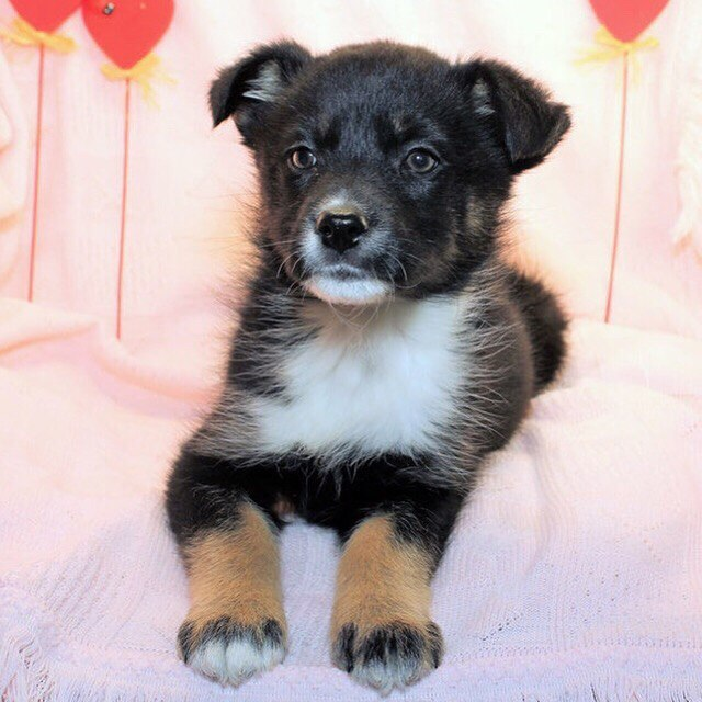 Adorable puppies looking for home
