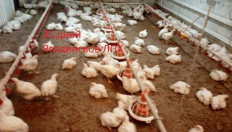 Chickens broiler Cobb 700 (arbor Icriis), feed for poultry.
