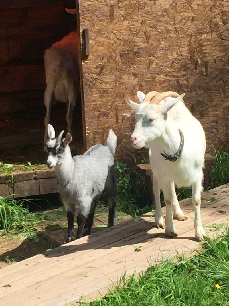 Sold by Saninsky goat with a goat