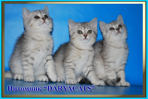British kittens silver colors from the nursery Daryacats