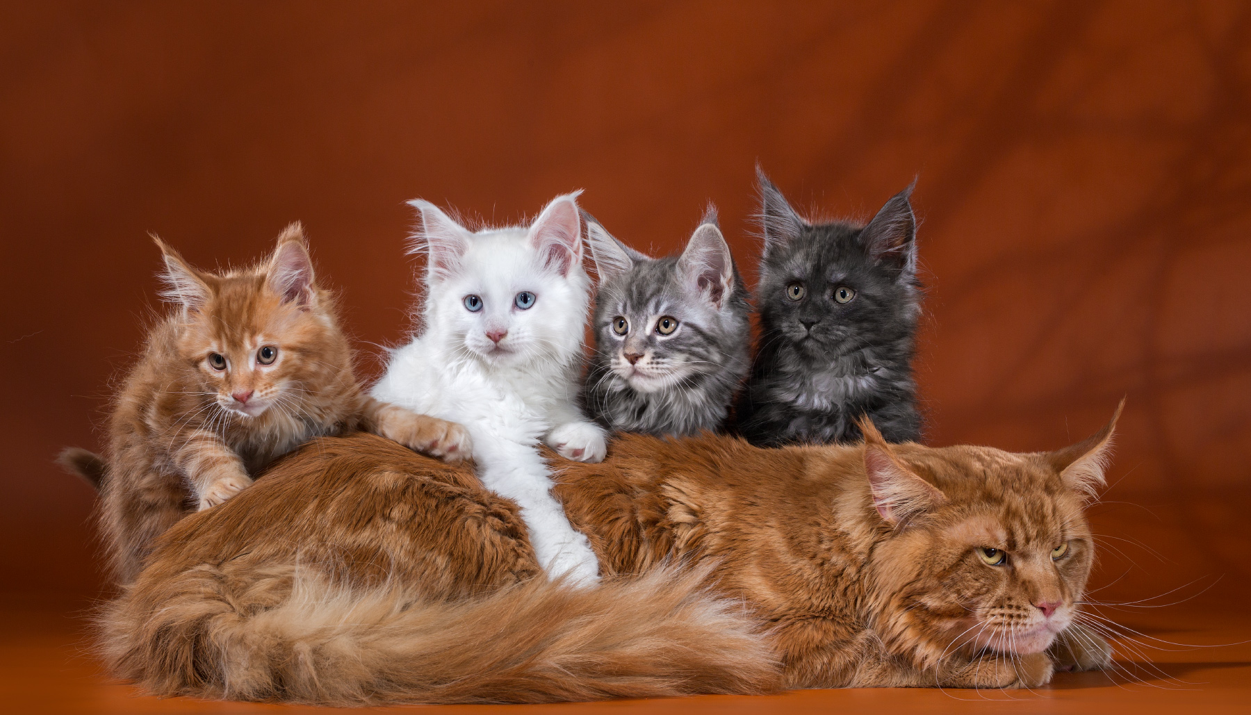Kittens Maine Coon from the pound Enigma Spirit