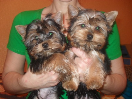 Yorkshire terrier puppies girls 4 months