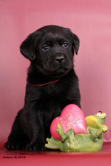 Фото щенка лабрадора в цветах