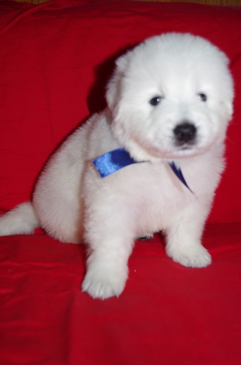 Puppies, Maremma-abrazos shepherd