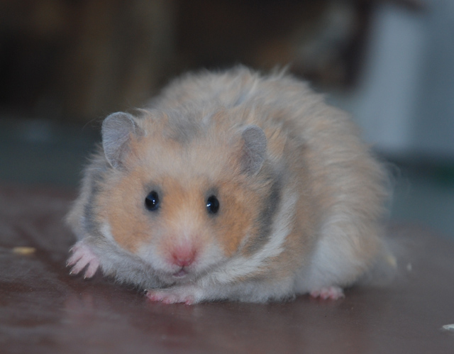 Syrian hamsters, the kennel, Czech bloodlines, rare colors