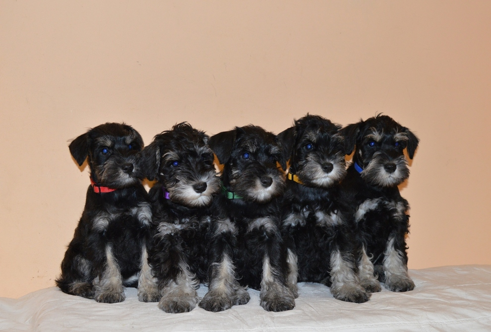 Puppies Zwergschnauzer color black with silver