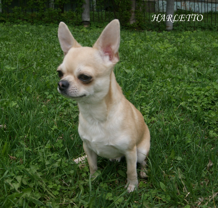 Offers boy Chihuahua for mating