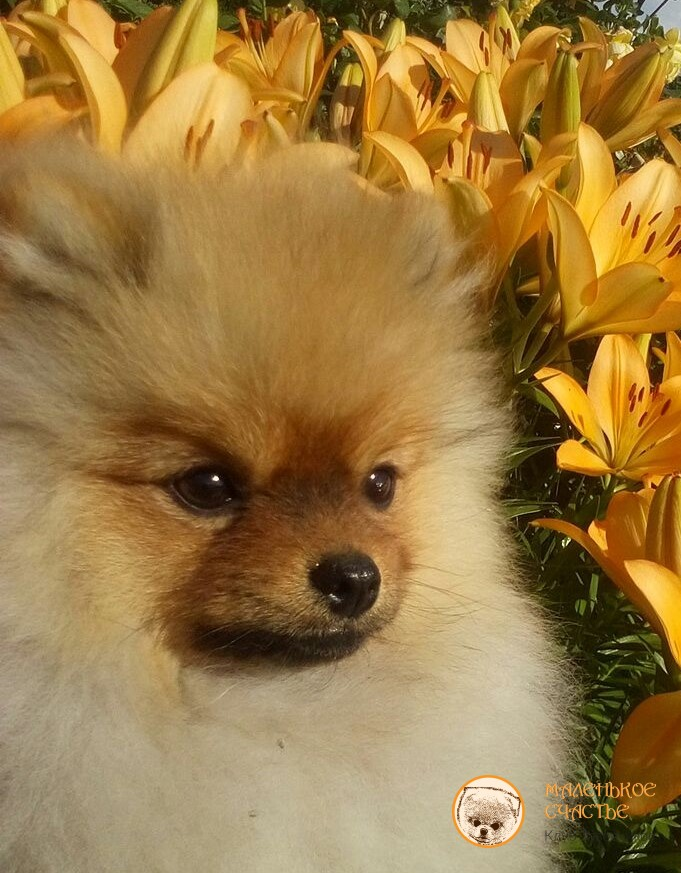 """Selling Spit.in Moscow, buy Spitz dog breeders club """"Little Happiness"""""""
