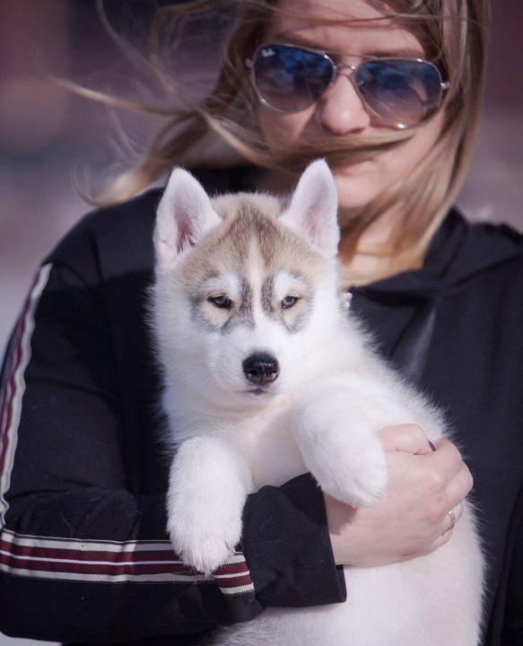 "Kennel ""Siberian husky"""
