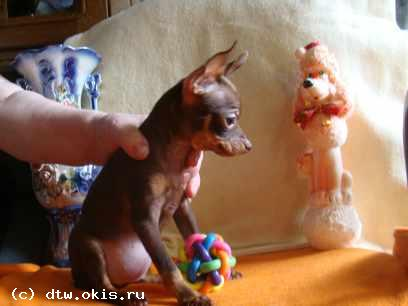 Toy Terrier mini and small standard smooth coat