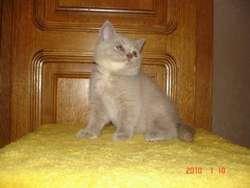 British kubnye kittens