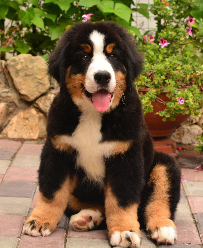 Great puppy Bernese mountain dog