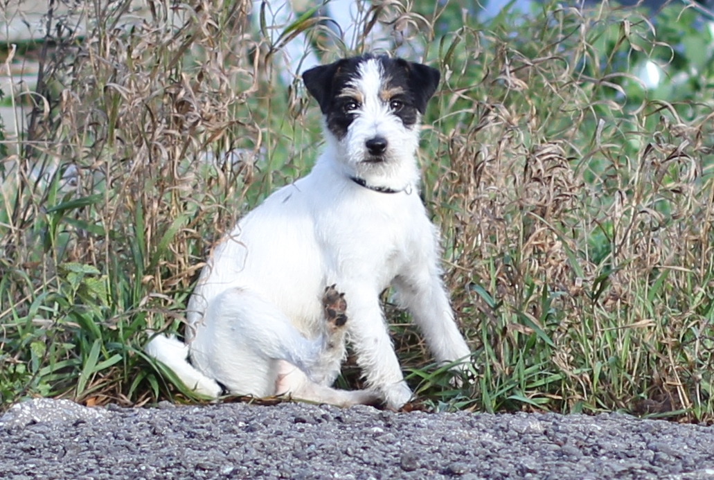 The parson Russell Terrier, baby girl 1. 5 years