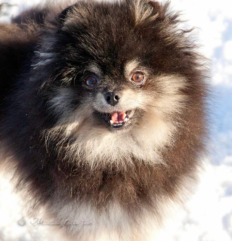 Pomeranian mini Pomeranian for mating. There are puppies for sale