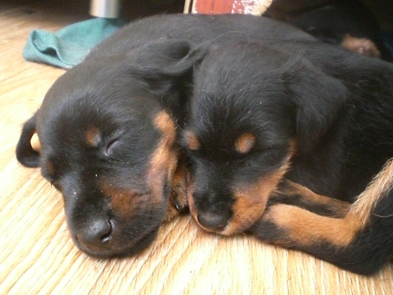 puppies Terrier