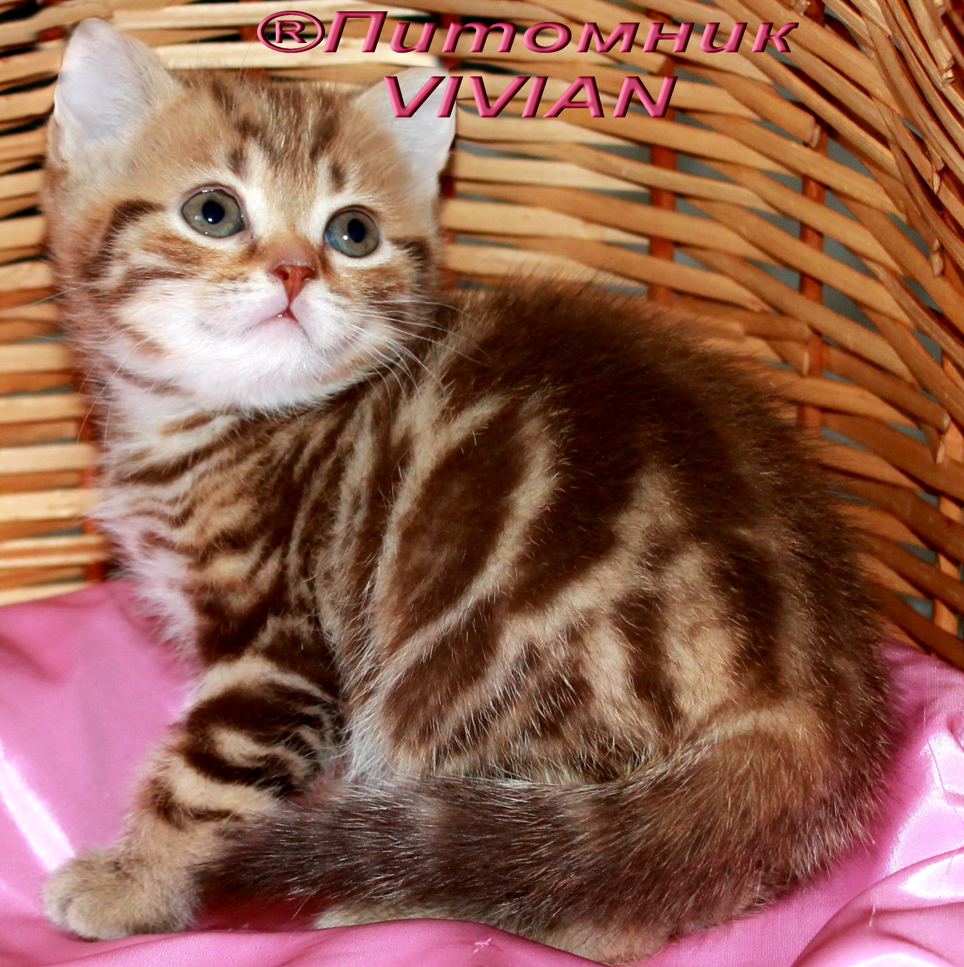 Kittens chocolate marble
