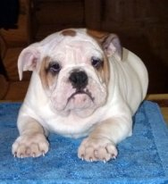 Sell the puppies of English bulldog