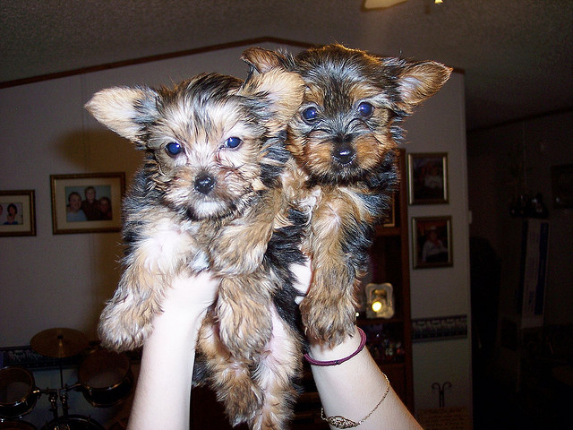 Xmas Teacup Yorkie, Pomeranian and maltese puppies avaiable contact (215) 826-5291!!!