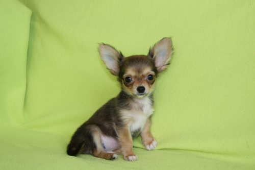 Chihuahuas are very small boys