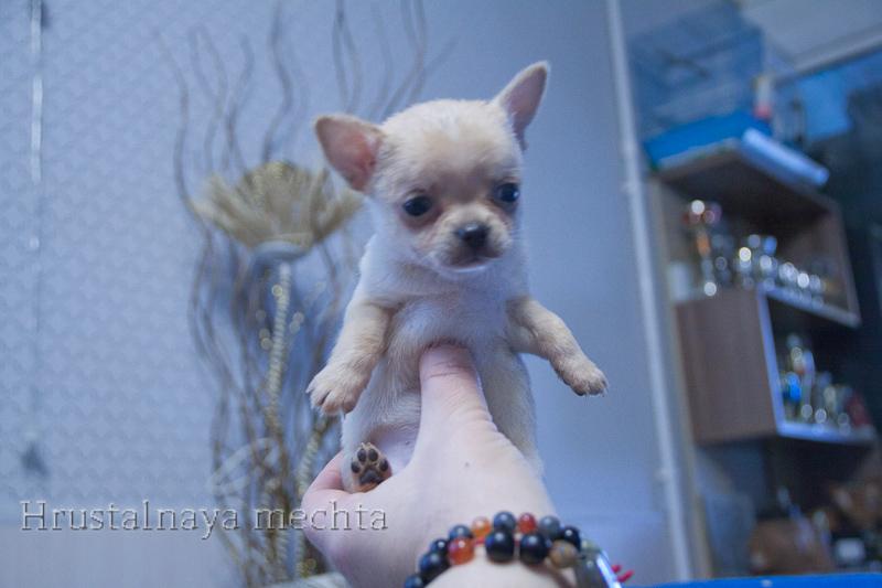 Cream Chihuahua boy