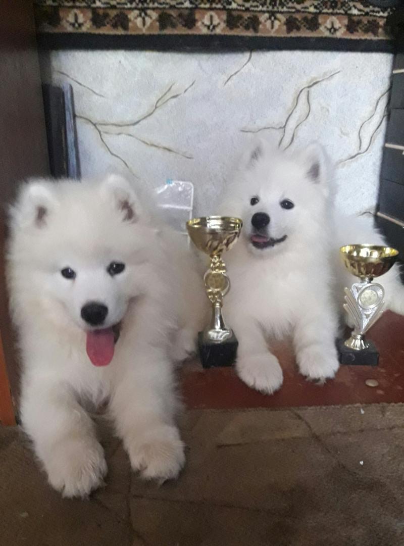Puppies of Samoyed dog