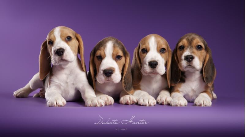 Puppies Beagle kennel Dakota Hunter