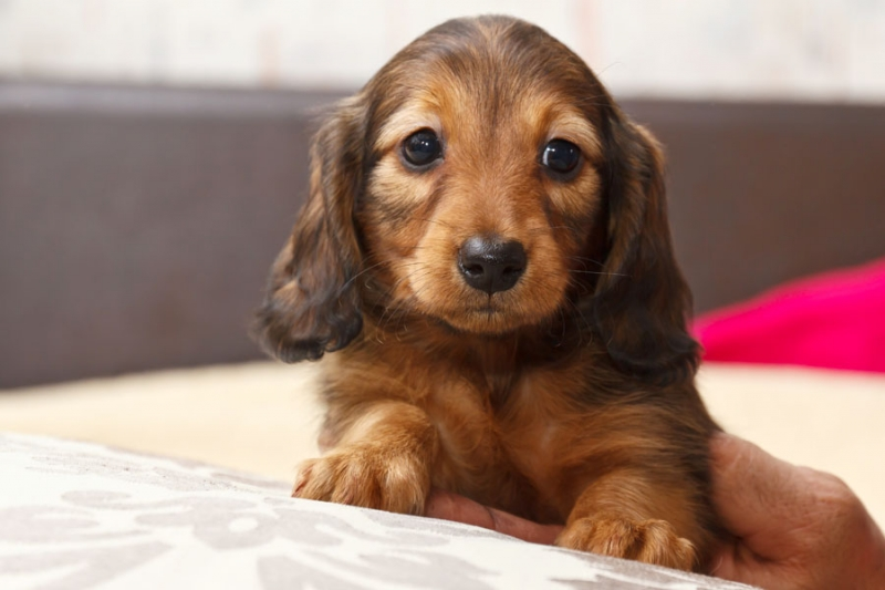Puppies Fees. Miniature and rabbit Dachshund long-haired